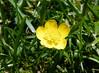 Kriechender Hahnenfuß (Martin To.) Tags: blume flower martin tolle wildblume flora natur gras klee niedersachsen makro feld pflanze garten kriechender hahnenfus ranunculus repens wiesen wiese wiesenblume