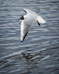 Landing Approach (MrBlueSky*) Tags: gull bird animal nature outdoor water kewgardens royalbotanicgardens london aficionados pentax pentaxart pentaxlife pentaxk1 pentaxawards pentaxflickraward