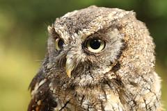 Tropical Screech Owl - Megascops choliba (Roger Wasley) Tags: tropical screech owl megascops choliba siren secretowlgarden pembrokeshire wales bird birds birdofprey owls macro