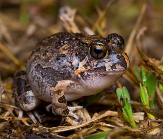ornate burrowing frog (Platyplectrum ornatus)