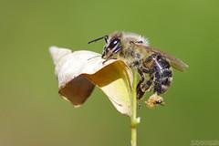 Agony (Vie Lipowski) Tags: honeybee sting stinger bee honey autumn leaf park wildlife nature macro