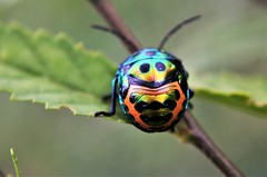 Beetle...Graphic Designer (Anand Bangre) Tags: insect beetle leaf graphic designer natural