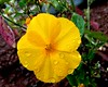 A drop of golden sun! (rufaro) Tags: shillong flower californianpoppy yellow gold