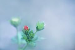 Tiny (satochappy) Tags: weeds bud scarletpimpernel anagallisarvensis