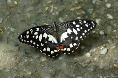 Papilio demoleus (Darea62) Tags: butterfly insect animal nature wildlife papiliodemoleus swallowtail commonlime dingy citrus lemon