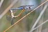 oops (luporosso) Tags: natura nature naturaleza naturalmente nikon nikond500 imdifferent nikonitalia nikonclubit libellula libellule dragonfly dragonflies macro closeup insect insetto insetti