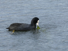 Coot (Deanne Wildsmith) Tags: staffordshire bartonmarina coot bird earthnaturelife