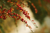 Berries (Inka56) Tags: 7dwf macroorcloseup closeup hbw berries bokeh supertakumar255