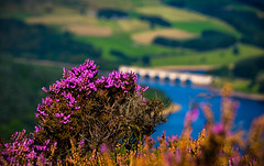 a bit of summer (Phil-Gregory) Tags: nikon d7200 sigma18250macro zoom heather purple flower bamfordedge ladybower reservoir ladybowerreservoir colour color peakdistict peakdistrict national nationalpark nature naturalphotography naturalworld natural naturephotography bokeh water ngc scenicsnotjustlandscapes landscapes england