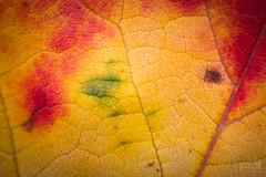 Colors of Autumn 2 (Keztik) Tags: nikon d3200 macro green vert orange yellow jaune rouge red feuille leaf automne autumn fall