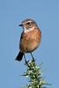 Stonechat (Shane Jones) Tags: stonechat bird wildlife nature nikon d500 200400vr tc14eii