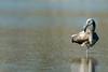 Greater Flamingo (Simon Stobart (Away For Two Weeks)) Tags: greater flamingo juv phoenicopterus roseus resting water lake salt spain oneleg coth5 ngc sunrays5 npc naturethroughthelens