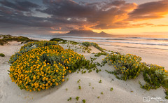 Table Mountain at Sunset on a Beautiful Spring Day (Mujahid's Photography) Tags: mujahidurrehman mujahidsphotography nikond810 capetown dolphinbeach flowers landscape landscapephotography ocean sand sanddunes sunset sunsetphotography wwwmujahidurrehmancom yellowflowers
