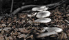 au coeur de l'automne - in the heart of autumn (vieux rêveur) Tags: nature automne autumn champignon mushroom macro desaturation extérieur marron brown ngc allfreepicturesnovember2017challenge