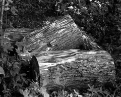 Sawed Logs (pmvarsa) Tags: august summer 2017 analog film ilford fp4 ilfordfp4 120 mediumformat mf mamiya rb67 pros classic camera 127mm nikonsupercoolscan9000ed nikon coolscan outside cans2s waterloo ontario canada nature greenspace