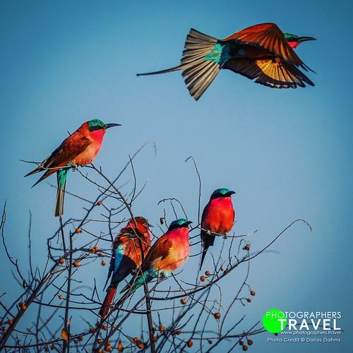 Carmine Bee-eaters - Zambezi 2014