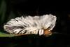Gusano Pollo (Wilmer Quiceno) Tags: oruga gusano gusanopollo macro envigado eos70d macrofotografía animal