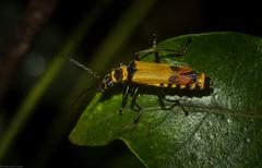 Soldier Beetle (dustaway) Tags: arthropoda insecta coleoptera cantharidae australianbeetles australianinsects tamborinemountain mounttamborine sequeensland nature queensland australia