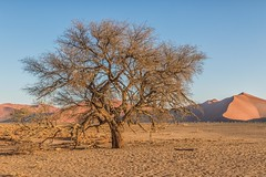 Almost Shade (gecko47) Tags: sand plain dunes sanddunes sesriem namibnaukluftpark sossusvlei namibia desert leafless shade footprints