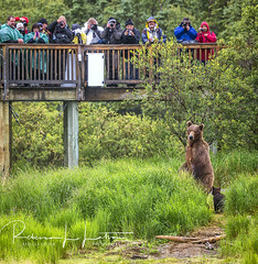 Hey!  What's Everybody Lookin' At?? (rebeccalatsonphotography) Tags: humor humorous bearjam viewingplatform brooksriver katmai np nationalpark nationalparkandpreserve alaska ak photographers funny momma mother sow cub baby wildlife prime primelens telephoto supertelephoto 500mm canon 1dx rebeccalatsonphotography