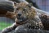 African leopard - Olmense Zoo (Mandenno photography) Tags: dierenpark dierentuin dieren animal animals belgie belgium bigcat big cat balen olmense olmensezoo olmen african afrikaanse leopard luipaard kobe