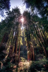 DSC_5164H_1 (Ramiro Marquez) Tags: nature trees muirwoods california redwood forest flora