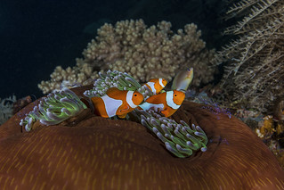 Western Clown Anemonefish in closed anemone