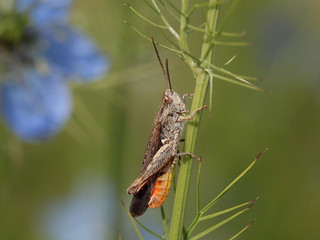 Criquet des Larris ou Criquet des jachères (Chorthippus mollis)