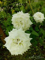 By CelPhone - Villas do Atlântico - Lauro de Freitas/Ba - Brasil (AmandaSaldanha) Tags: nature natureza jardim garden flores roses rosas rose colours cores green verde motherearth