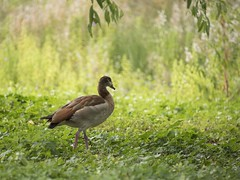 Balade dans un parc londonien -*---+ (Titole) Tags: duck shallowdof green titole nicolefaton 15challengeswinner
