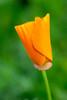 Californian poppy (Eschscholzia californica) (oliverivorybray) Tags: botanical macro orange flowers flower plants plant californica eschscholzia eschscholziacalifornica californianpoppy californian poppy