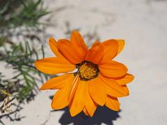 P9160145 West Coast National Park Flowers (Joanna P Dale) Tags: westcoastnationalpark flowers southafrica omdem1 mk1 olympus 35mmzuiko 35mmmacro