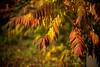 L1000134 (Rene_1985) Tags: leica m 240 rangefinder messucher 50mm noctilux 095 asph bokeh leafs fall herbst golden