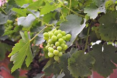 Vino Bianco (Mauerkind Berlin) Tags: outdoor wein trauben ökowerk