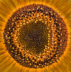 Sunflower Eclipse (FotoGrazio) Tags: botany orange waynegrazio waynesgrazio art botanical closeup composition eclipse fineart flower fotograzio lovely nature painterly pattern phototoart plant shadesoforange shadesofyellow sunflower texture yellow