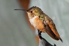 Hummy on Agave (Life of David) Tags: california camarillo canon5dmarkiv selasphorussasin usa wildlife allenshummingbird backyard beautiful beauty bird cute hummingbird nature world100f