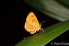 Callidula sp (Ron LD) Tags: moth lepidoptera butterfly callidulidae borneo