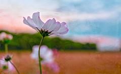 Just a tinge of autumn (PokemonaDeChroma) Tags: justatingeofautumn sliderssunday autumn cosmos cosmea blooming petals sunset field france