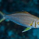 Smalltooth Jobfish, subadult - Aphareus furca thumbnail