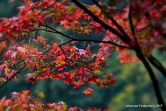 Roter Ahorn (grafenhans) Tags: sony alpha 68 a68 alpha68 tamron 5663200400 laub licht light herbst autumn farben grafenwald bottrop nrw