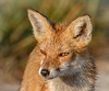 Chasing Muskrats (tresed47) Tags: 2017 201710oct 20171002bombayhookbirds animals bombayhook canon7d content delaware fall folder fox october peterscamera petersphotos places season takenby us ngc npc