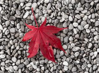 Maple leaf on gravel