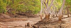 Impressions of The Alice #2 (pano) (Fat Burns ☮ (on/off)) Tags: landscape river gumtrees aliceriver barcaldine queensland australia bush bushscene outback outbackriver eucalypts eucalypttrees trees deadtrees dryriverbed riverbed redrivergums nikond500 sigma150600mmf563dgoshsmsports