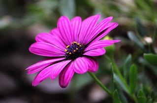 Cape Daisy - Dimorphotheca
