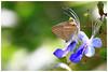 藍咖灰蝶   Catochrysops panormus (Alice 2017) Tags: 2017 hongkong bokeh green butterfly canon canoneos7d eos7d nature canonef70200mmf4lisusm plant autumn blue flower insect aatvl01 aatvl02
