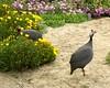 Swakopmund resident (jglsongs) Tags: namibia swakopmund africa wildturkeys turkeys birds
