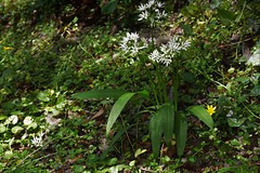 Allium ursinum, l'ail des ours. (chug14) Tags: plantae plante flower fleur asparagales amaryllidaceae aildesours ailàlargesfeuilles molylatifolium alliumursinum unlimitedphotos