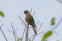 Pyrrhura coerulescens/Pearly Parakeet