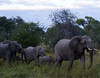 Elephants3 (deepchi1) Tags: africa botswana safari wildlife game viewing gameviewing gametracking tracking biggame zoology okavangodelta delta grass elephants bigfive pachyderms trunk herd acaciatrees babyelephants baby