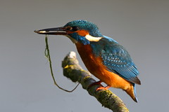 Common Kingfisher (Alcedo atthis) with weed covered fish (sdflickr2) Tags: commonkingfisher alcedoatthis leicestershire